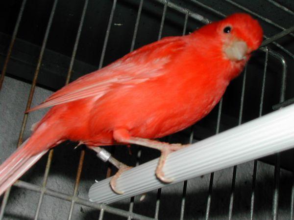 Kanarek czerwony