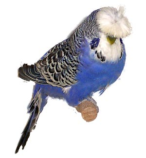 Papużka falista czubata opalowo-kobaltowa