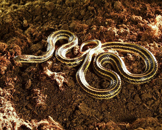 Wąż Diony
